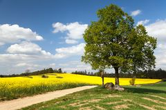 View of way between rapeseed field and lime tree Stock Photo