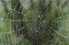 Web spider wetted by morning dew Royalty Free Stock Photography
