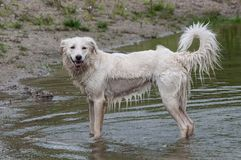 Wet white dog looking at the camera, getting out of water Stock Images