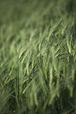 View of wheat field Stock Photography