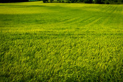 View of a wheat field green royalty free stock photo