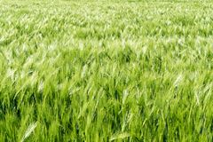 Wheat field in lustrous green and a slight wind with tractor tracks and forest behind. A view of a wheat field in lustrous green and a slight wind with tractor Stock Photos