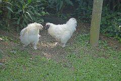 TWO WHITE BANTAM HENS IN A GARDEN. View of white bantam hens with fluffy feathers and dark red combs and wattles Royalty Free Stock Image
