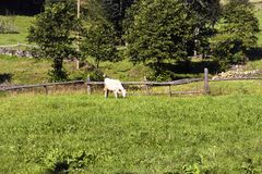 View of a white cow grazing on grass field royalty free stock image