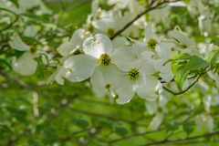 View of a White Flowering Dogwood Tree. A view of a white dogwood flowers on a flowering dogwood tree located in the Blue Ridge Mountains of Virginia, USA royalty free stock images