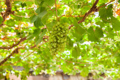 View of white grapes Royalty Free Stock Images