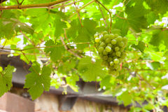 View of white grapes Royalty Free Stock Image