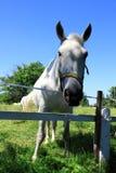 View white horse Royalty Free Stock Photos