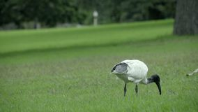 White Ibis pecks at lawn in Sydney. View of white Ibis pecking at lawn in Sydney stock footage