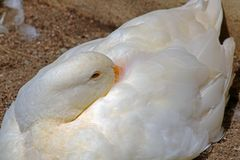 CLOSE VIEW OF WHITE DUCK WITH BILL UNDER WING Royalty Free Stock Image