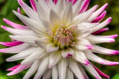 View of white and pink flower up close in a colorful garden royalty free stock image