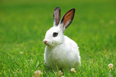 A view of a white rabbit on a grass Stock Photo