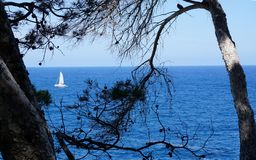 View of the white sailing yacht in blue sea through branches of pines. Through the branches of the pines in the foreground you can see how in the blue sea a royalty free stock photo