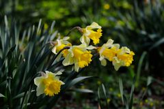 View of white-yellow narcissus flowers in the spring garden. Macro photography of nature stock photos