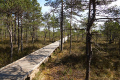 View of wide wooden walkway on a bog in Estonia in forest of spruces and pines Royalty Free Stock Photography