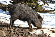 Wild boar. View of the wild boar in snowy countryside Royalty Free Stock Photos