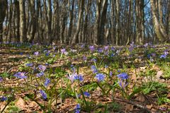 View of Wild flowering in the forest, spring season Royalty Free Stock Image