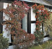 View on window of old english house. Arts and crafts residential building in autumn red berries of hawthorn Royalty Free Stock Photography