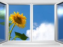View from the window of sunflower Stock Image