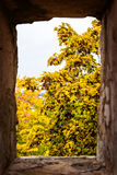 View through a window to a yellow maple tree at the autumn time Royalty Free Stock Photography