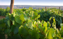 View from a wine-yard Royalty Free Stock Photography