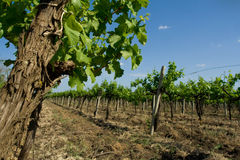 View from a wine-yard Royalty Free Stock Image
