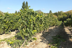 View of a wineyard in la rioja, Spain Royalty Free Stock Photos