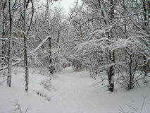 View of winter forest and trees Royalty Free Stock Image