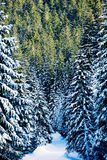 View at winter pine tree forest Stock Photos