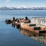 Rookery Steller Sea Lion Northern Sea Lion on Kamchatka Peninsula stock photo