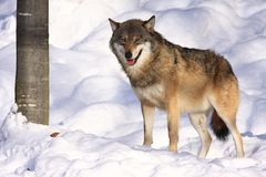 Wolf. View wolf in a snowy forest stock photos