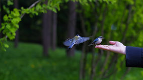 View of woman& x27; s hand holding grain and feeding birds Royalty Free Stock Photo