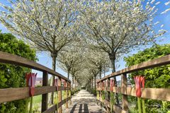 View from a wooden bridge over the flowering fruit trees, with their white blossoms. On both sides of the bridge a green hedge, on a background with blue sky Stock Image
