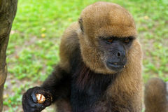 View of a Woolly Monkey. Closeup view of a light brown woolly monkey near Iquitos, Peru Stock Photos