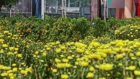 View from Yellow Chrysanthemums to Mandarin Tree at Sunlight. Closeup view from yellow chrysanthemums to mandarin tree at sunlight wind shakes leaves before stock video