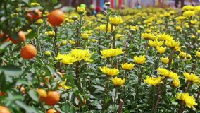 View from Yellow Chrysanthemums to Tangerine Tree at Sunlight. Closeup view from yellow chrysanthemums to tangerine tree at sunlight wind shakes leaves before