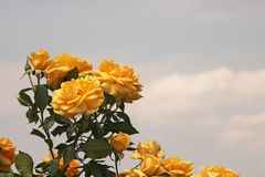 CLUSTER OF YELLOW ROSES AGAINST CLOUDY SKY. View of yellow coloured roses on rose bushes in a rose garden against a cloudy sky stock photo