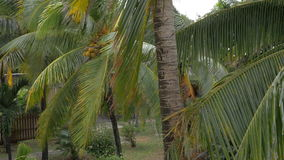 View of yellow green coconut in the bunch on coconut palm tree with huge leaves stock video