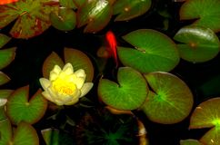View of yellow lilly growing in a green pond. stock photography