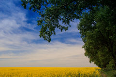 View of yellow rapeseed field in blossom under blue sky clouds Stock Photos