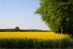 View on yellow rapeseed field with green trees in dutch rural landscape in spring near Nijmegen - Netherlands royalty free stock images