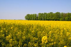 View on yellow rapeseed field with green trees in dutch rural landscape in spring near Nijmegen - Netherlands royalty free stock photography