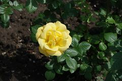 View of yellow rose flower stock photo