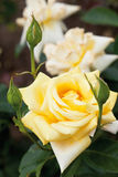 View of yellow roses,close up Stock Image