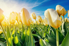 View of yellow tulip rows in summer time Royalty Free Stock Images