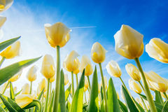 View of yellow tulip rows in summer time Stock Images