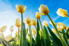 View of yellow tulip rows in summer time Royalty Free Stock Photos