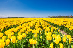 View of yellow tulip rows in summer time Royalty Free Stock Photo