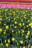 View of yellow tulips Stock Image