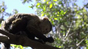 Young Capuchin monkey eating in a tree. View of young Capuchin monkey eating in a tree stock video